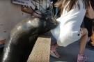 Lew morski wciągnął do wody siedzącą na nabrzeżu dziewczynkę (wideo)