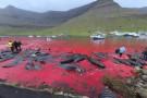 Krwawe fiordy na Wyspach Owczych. W masowej rzezi zginęło ponad 400 grindwali (foto)
