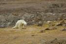Ten skrajnie wychudzony niedźwiedź polarny stał się symbolem skutków zmian klimatu. Dramatyczne nagranie (wideo)