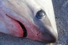 Za oceanem jest tak zimno, że zamarzają nawet rekiny (foto)