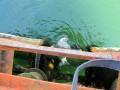 Ławica dorszy asystowała nurkowi przy pracach na złożu B8. Czasem pojawiają się także foki (wideo)