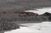 Ponad milion pingwinów na plaży w Argentynie. Niesamowity widok (wideo)