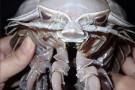 Indonezyjscy naukowcy odkryli ponad 12 000 nowych morskich stworzeń. Wśród nich głębinowe karaluchy (foto, wideo)