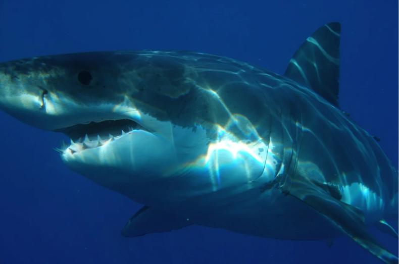 Rekin zaatakował i zabił surfera w Australii - GospodarkaMorska.pl