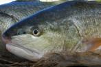 Vega Seafood Sp. z o.o. sprzeda korwinę czerwoną