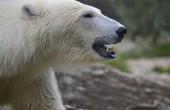 Rosja: Stan nadzwyczajny na Nowej Ziemi z powodu najścia białych niedźwiedzi (wideo)