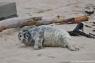 Straż Graniczna uratowała trzytygodniową fokę