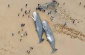 Kolejne olbrzymy wyrzucone na plażę (wideo)