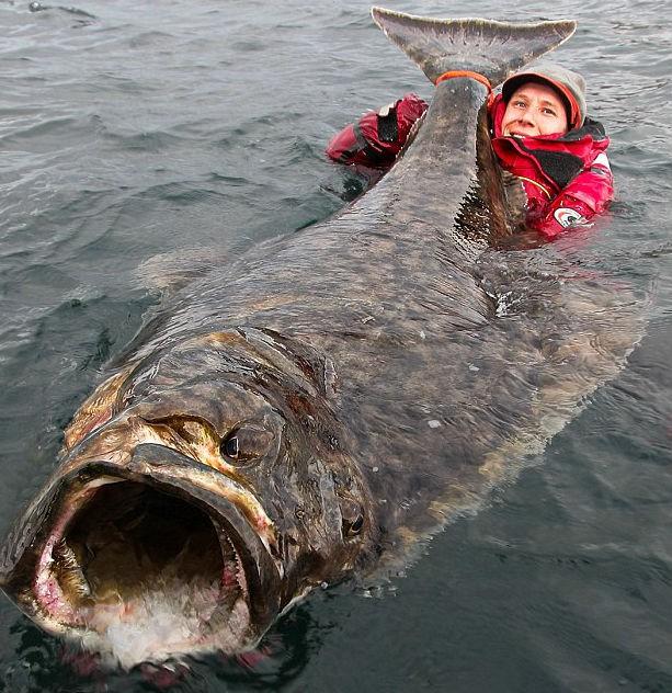 U wybrzeży Norwegii złowiono gigantycznego halibuta - GospodarkaMorska.pl