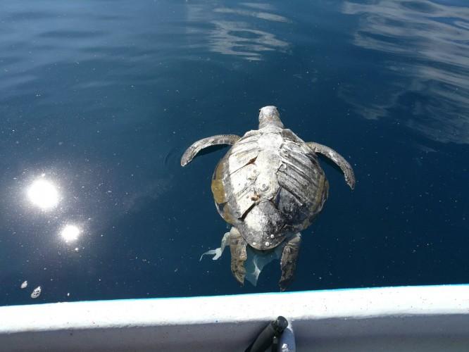 Prawie 400 martwych żółwi u wybrzeży Salwadoru. Dryfowały na powierzchni wody (wideo) - GospodarkaMorska.pl