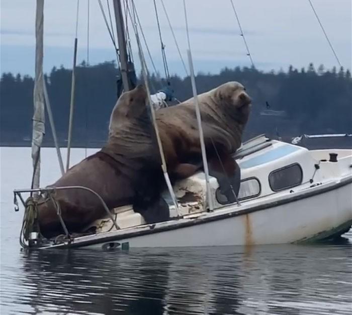 Dwa gigantyczne lwy morskie wylegują się na małej łodzi (foto, wideo) - GospodarkaMorska.pl