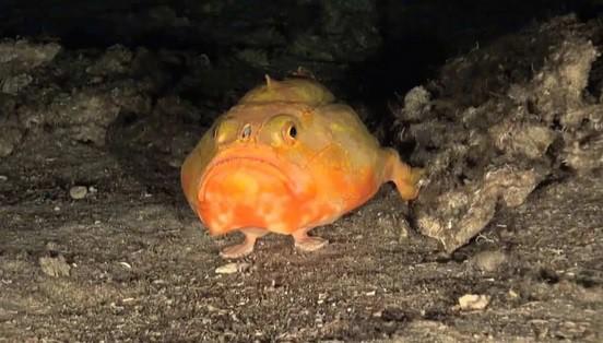 Głębinowa ryba z płetwami przypominającymi... stopy (wideo) - GospodarkaMorska.pl