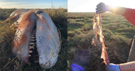 Orka z brzuchem pełnym plastiku znaleziona na wschodnim wybrzeżu Wielkiej Brytanii (foto) - GospodarkaMorska.pl