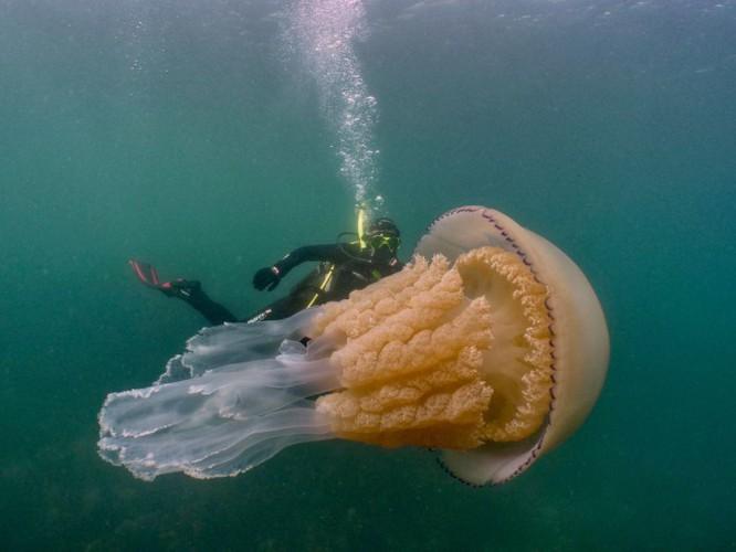 Nurkowie spotkali ogromną meduzę u wybrzeży Anglii (wideo) - GospodarkaMorska.pl