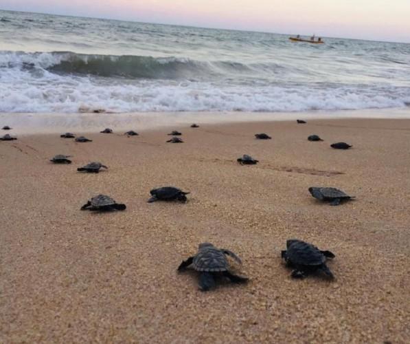 Na opustoszałej plaży w Brazylii wykluło się prawie sto zagrożonych wyginięciem żółwi - GospodarkaMorska.pl