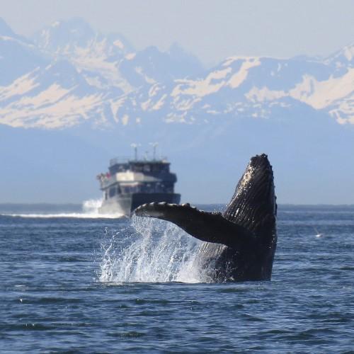 Islandia zakazała zabijania wielorybów (wideo) - GospodarkaMorska.pl