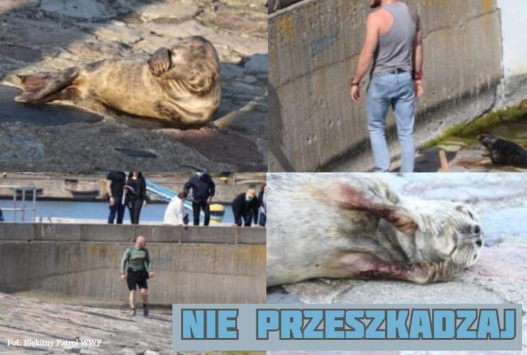 Plażowicze nękają foki. Jedna z nich nie przeżyła - GospodarkaMorska.pl