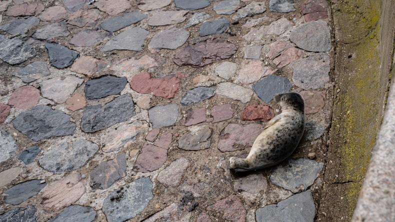 W majówkę nietypowa atrakcja na Skwerze Kościuszki w Gdyni - foka wygrzewała się na kamieniach - GospodarkaMorska.pl