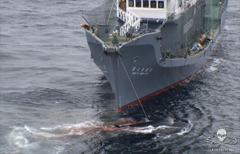 Japonia nie zamierza zaprzestać połowu wielorybów - GospodarkaMorska.pl