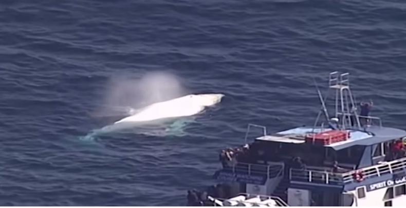 Na niesamowitym nagraniu uwieczniono rzadkiego wieloryba-albinosa (WIDEO) - GospodarkaMorska.pl