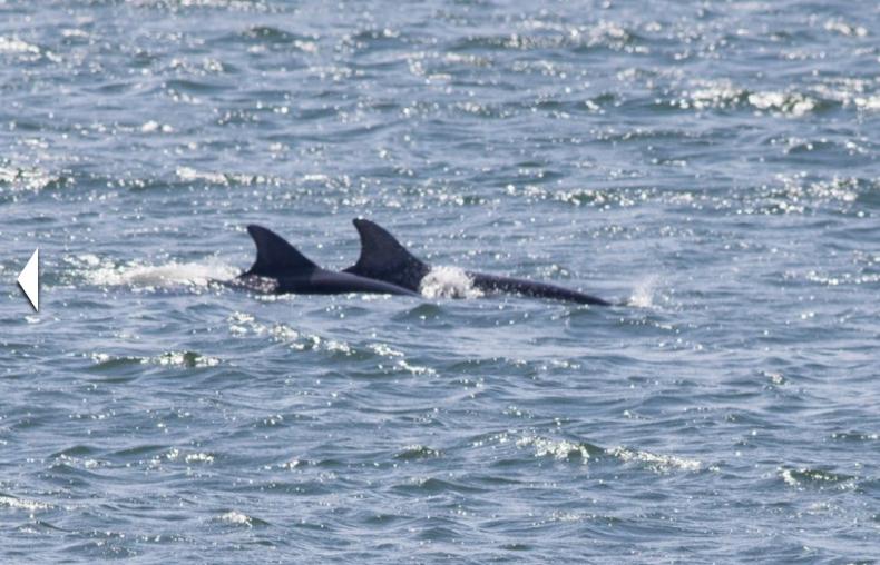 Niecodzienny widok. Para delfinów odwiedziła Zatokę Gdańską (WIDEO) - GospodarkaMorska.pl