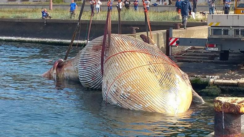 Problemy z wyciągnięciem olbrzymiego wieloryba (zdjęcia) - GospodarkaMorska.pl