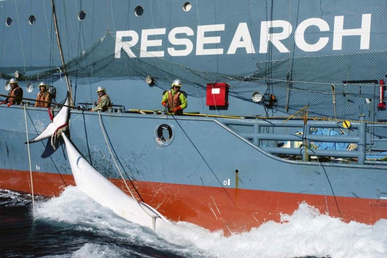 Japońscy wielorybnicy zapłacą milionową karę - GospodarkaMorska.pl