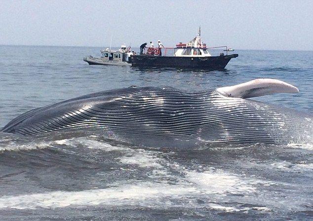 Akcja ratowania największego wieloryba na świecie (wideo) - GospodarkaMorska.pl