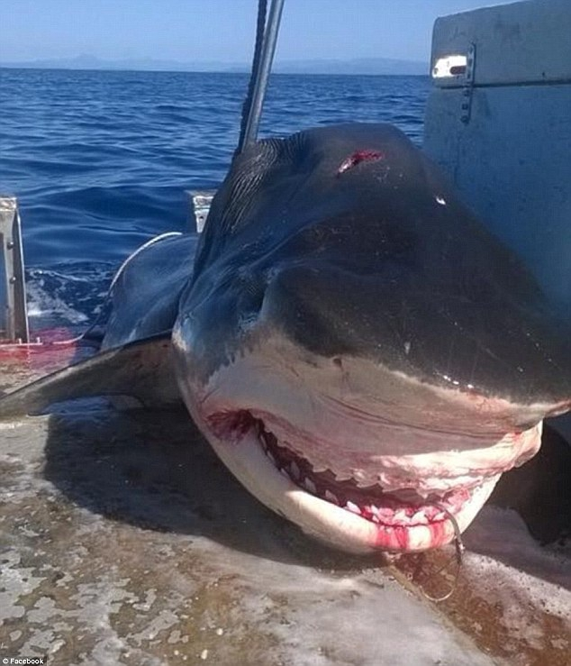 Żarłacz gigant zauważony u wybrzeży Australii. Może mierzyć nawet 7 metrów! (FOTO) - GospodarkaMorska.pl