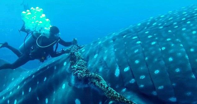 Człowiek ratuje największą rybę świata. Niezwykłe nagranie (wideo) - GospodarkaMorska.pl