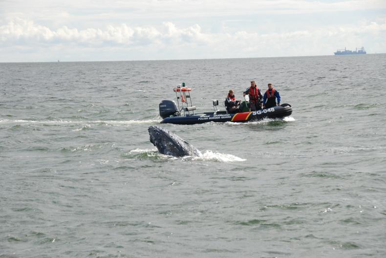 Akcja uwolnienia wieloryba na Zatoce Gdańskiej (wideo) - GospodarkaMorska.pl