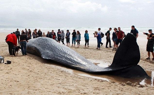 Ogromny wieloryb znaleziony na plaży - GospodarkaMorska.pl