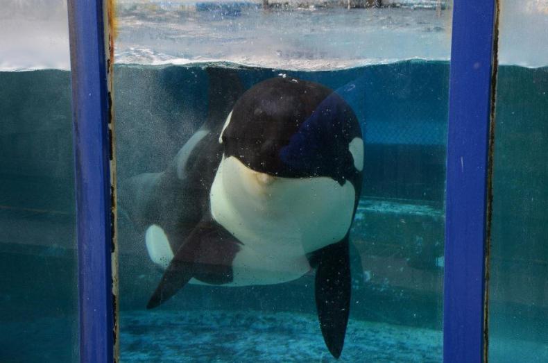 Chciała się zabić. Aktywiści za wszelką cenę chcą uwolnić orkę z hiszpańskiego delfinarium - GospodarkaMorska.pl