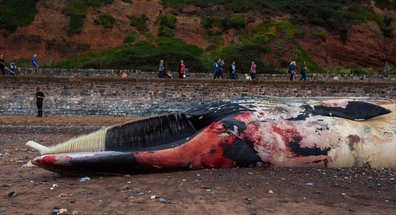 Olbrzymi wieloryb wyrzucony na brzeg (wideo) - GospodarkaMorska.pl
