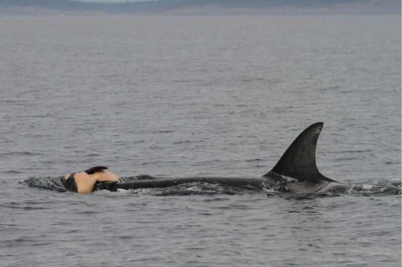 Opłakiwanie zmarłych to nie tylko ludzki odruch. Badania pokazują, że wieloryby też cierpią po stracie bliskich - GospodarkaMorska.pl