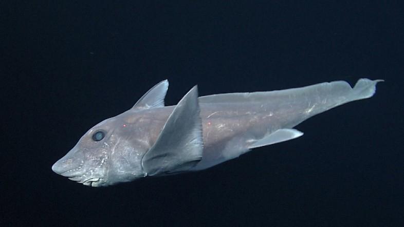 Ten gatunek ryby jest starszy od dinozaurów. Naukowcom po raz pierwszy udało się sfilmować żywego osobnika (wideo) - GospodarkaMorska.pl