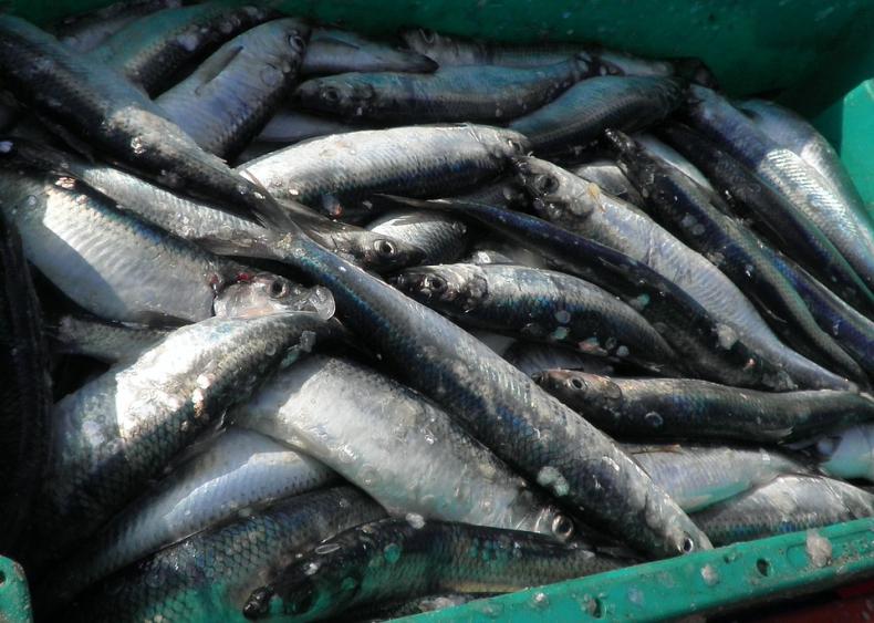 Połowy dorsza spadają, cena ryb rośnie - GospodarkaMorska.pl