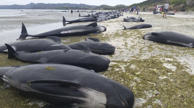 Ponad 400 waleni wyrzuconych na brzeg w Nowej Zelandii - GospodarkaMorska.pl