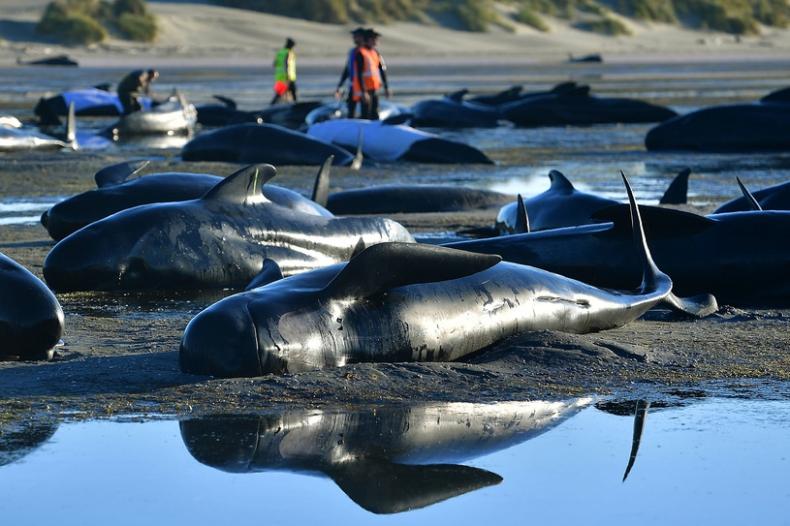 Kolejne setki waleni wyrzuconych na brzeg w Nowej Zelandii - GospodarkaMorska.pl