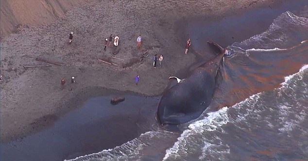największy penis wieloryba