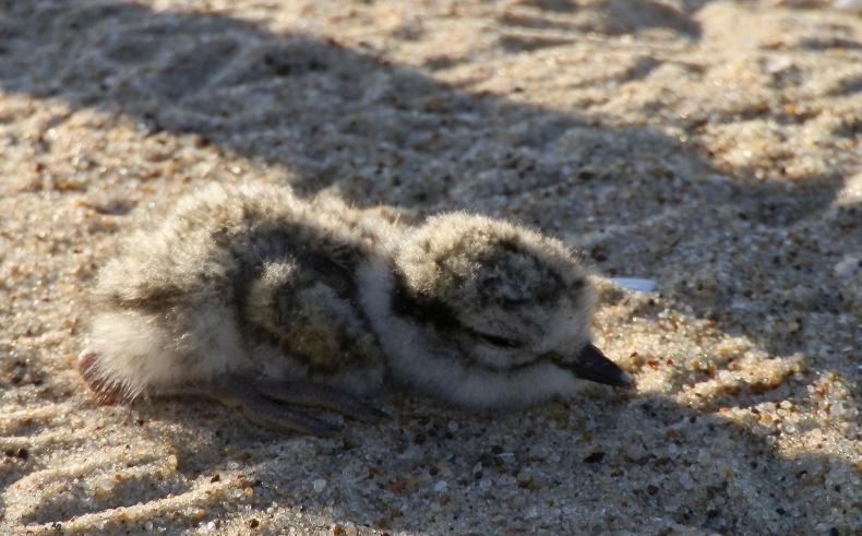Pisklęta sieweczki powracają na bałtyckie plaże - GospodarkaMorska.pl