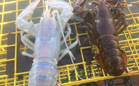 U wybrzeży USA złapano przezroczystego homara - GospodarkaMorska.pl