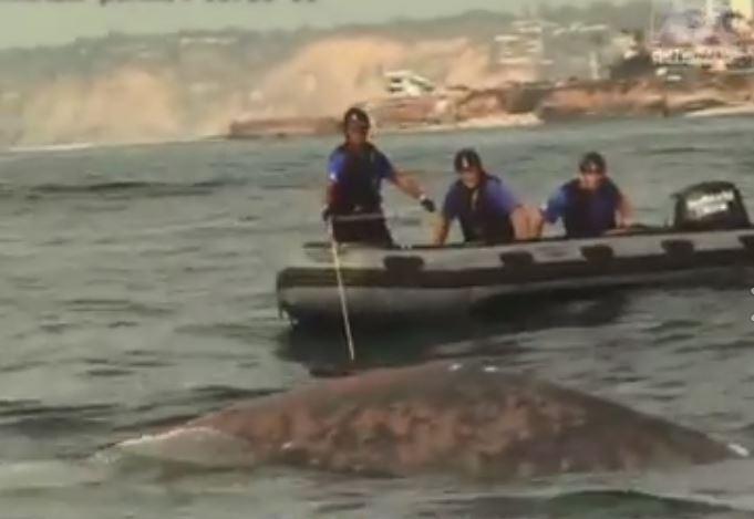 Ranny wieloryb w okolicach San Diego. Ratownicy walczą o jego życie (wideo) - GospodarkaMorska.pl