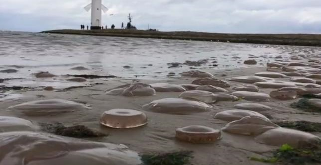 Tysiące martwych meduz na plaży w Świnoujściu (foto, wideo) - GospodarkaMorska.pl