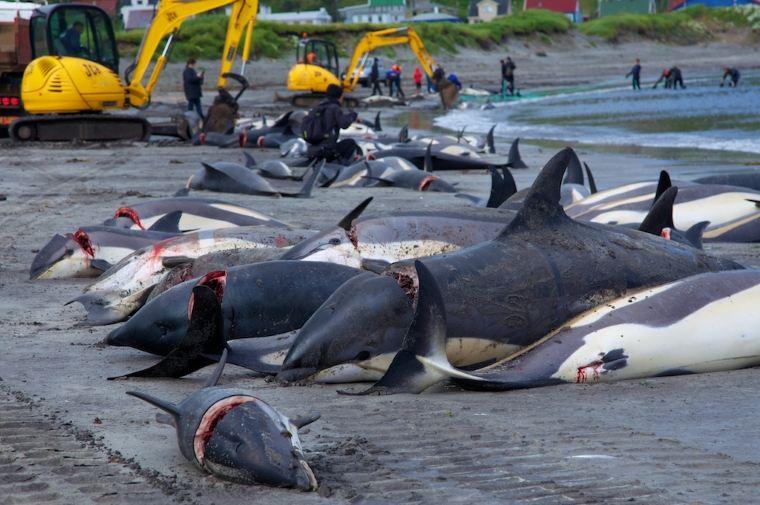 Ponad 200 delfinów ubito na Wyspach Owczych. Organizacje ekologiczne protestują - GospodarkaMorska.pl