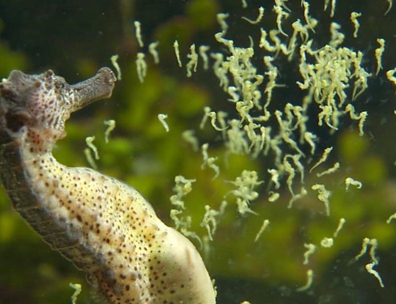 Samiec konika morskiego rodzi tysiąc młodych! Zobacz jeden z najciekawszych porodów w przyrodzie (wideo) - GospodarkaMorska.pl