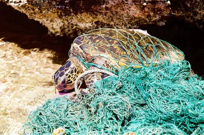 Żółw morski zaplątał się w sieci-widma. Nie mógł oddychać i pływać (wideo) - GospodarkaMorska.pl