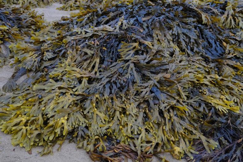 Pierwsza na świecie farma alg morskich z certyfikatem ASC-MSC - GospodarkaMorska.pl