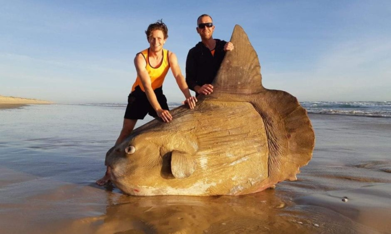 Gigantyczna ryba wyrzucona na brzeg w Australii - GospodarkaMorska.pl