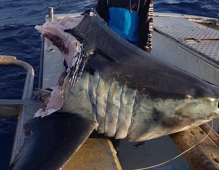 Wyłowili 100-kg głowę rekina. Resztę zjadło coś olbrzymiego (wideo) - GospodarkaMorska.pl